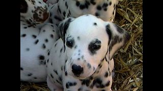 Dalmatian Has...16 Puppies! - Video