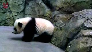 Adorable Panda Cub At Washington Zoo - Video