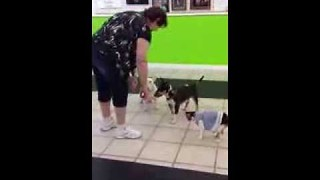 Obedience training a cat in a dress - Video