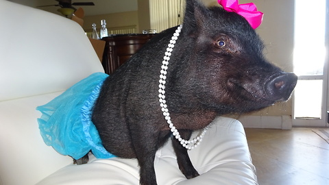 Blue The Thera-Pig Helps Sick And Elderly: CUTE AS FLUFF