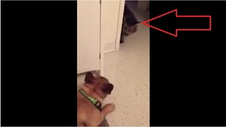 Excited French Bulldog tries to play with grumpy cat