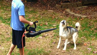 Husky Is Totally Obsessed With Leaf Blower