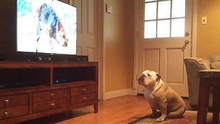 Bulldog Has Strange Reaction To Specific Puppy On TV - Video