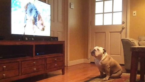 Bulldog Has Strange Reaction To Specific Puppy On TV