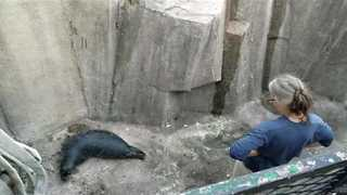 Zookeepers Rescue Baby Seal From Ravine - Video