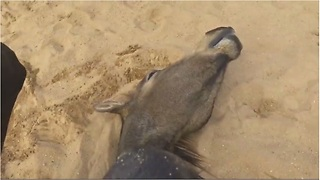 Horse sprawls out on back just like a human