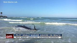 Dead whale found washed up on beach in Sarasota - Video