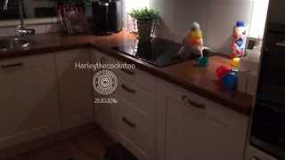 Courageous Cockatoo Defeats Plastic Cup Towers - Video