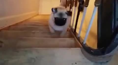 Pug decides to climb stairs in peculiar fashion