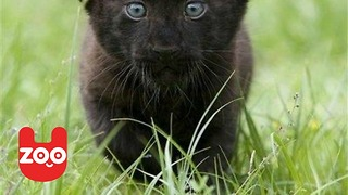 Baby Black Panthers From Mexico