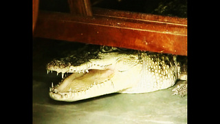 Family Live With Crocodile - Video