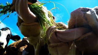Cows' tongues get tangled up - Video