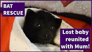 Baby Bat Reunited With Her Mother - Video