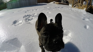 French Bulldog puppy baffled by sliding ice chunks  - Video