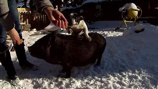 Dog and pig demonstrate awesome new jumping trick - Video