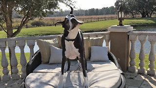 Funny Great Dane shakes and flops on to patio lounger