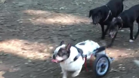 Bulldog in wheelchair experiences first ever dog park