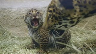 Jaguar cub makes adorable debut in California