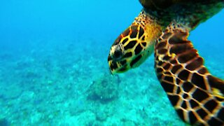 Sea turtle heads straight for diver to bite his camera lens and check him out