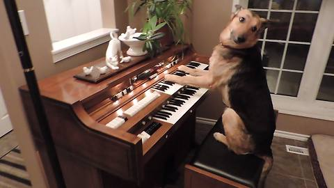 Rescue dog turns on piano and plays it!