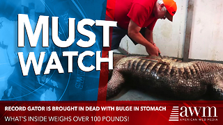 Record Gator Is Brought In Dead With Bulge In Stomach. Taxidermist Finds 115-Pound Object Inside - Video