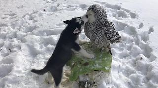 Husky puppy shares incredible friendship with owl  - Video