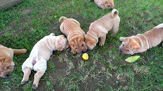 Shar Pei puppies totally baffled by lemon slice