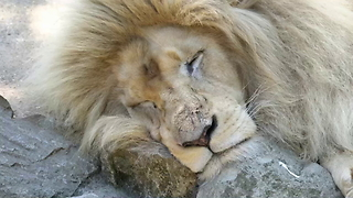 White lioness shocked by male lion's advance - Video