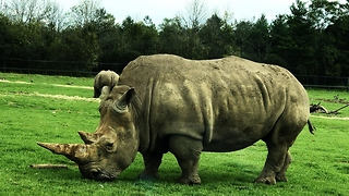 World's second largest mammal is also the most endangered - Video