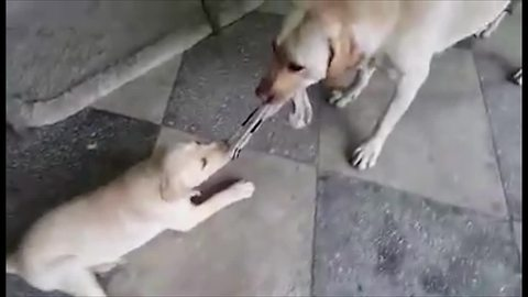 Puppy challenges his mother to tug-of-war match
