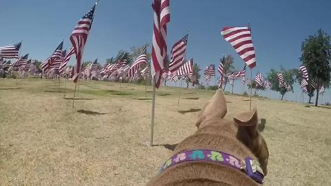 Pit Bull with GoPro gives new perspective of American flag