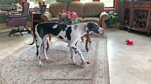 Funny Great Dane Puppy Howls At Mouse Ball Toy