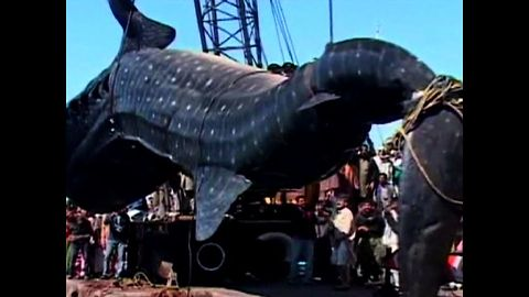 Fisherman Catch Giant Shark