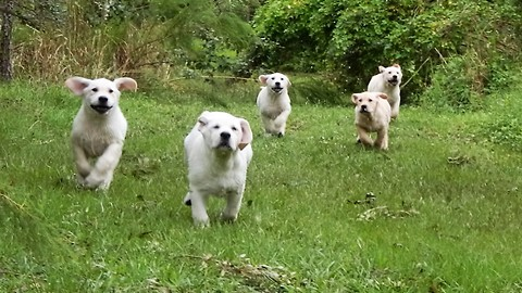 Adorable pack of Labrador puppy stampede