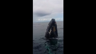 Humpback whale watching at Bay of Samana, Dominican Republic - Video