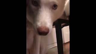 Super Guilty Husky Tries To Hide From Its Owner's Reprimand