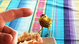 Bold canary shares bread with tourists at the breakfast table