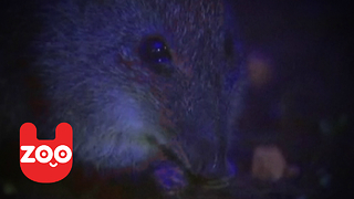 Rare Potoroos Rescued! - Video