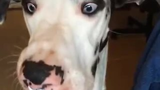 Great Dane eats whipped cream in slow motion - Video