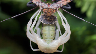 Alien-Like Spider Sheds Exoskeleton
