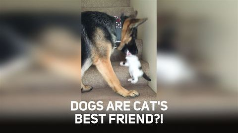 German Shepherd Befriends A Kitten And Helps It Climb The Stairs
