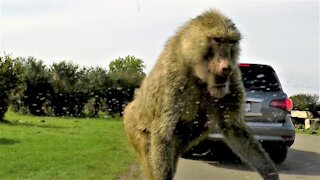 Baby monkeys engage in hilarious antics on this safari