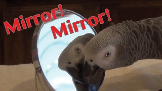 Parrot gazes adoringly at himself in a mirror - Video