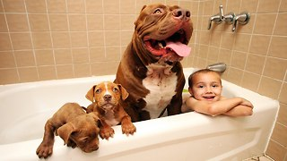 Giant Pit Bull Hulk's $500,000 Puppy Litter - Video