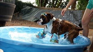 Boxer dog throws an epic pool party