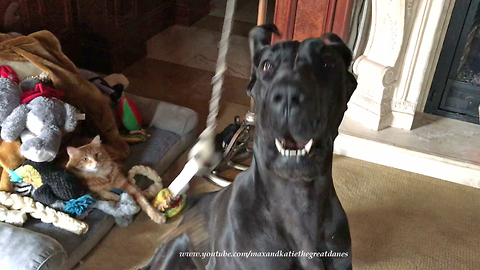 Funny Great Dane and Cat Play with Squeaky Toy Together ~ Dog Floss