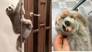 Slow loris loves pole dancing - Video