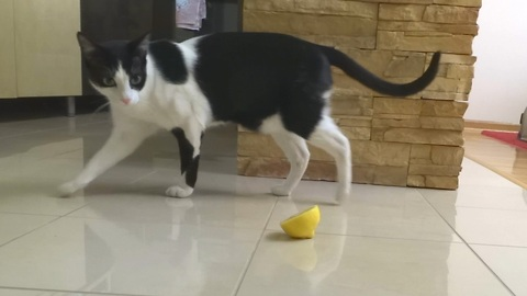 A Cat Approaches A Lemon. What She Does Next Is Truly Baffling.