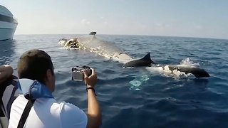 Tiger sharks feed on dead whale carcass in shocking video
