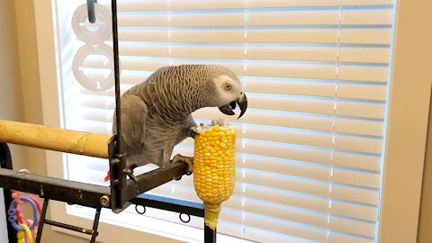 Bad life choices - parrot grabs a heavy ear of corn